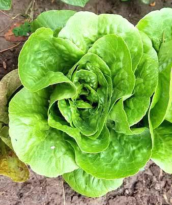 parisislamd_lettuce